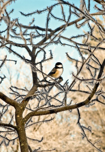 A chickadee in the serviceberry