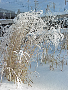 Panicum virgatum 'Dallas Blues' in winter