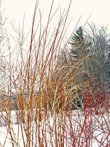 Ninebark 'Diablo' and Red Twigged Dogwoods in winter
