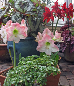 Amaryllis are great greenhouse plants