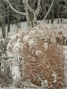 Miscanthus 'Malepartus' in winter