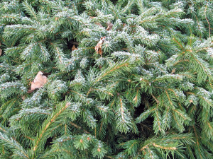 Snow decorating a dwarf Norway Spruce, Picea abies