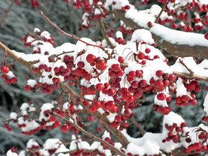 Winter fruit on a Snowdrift Crabapple