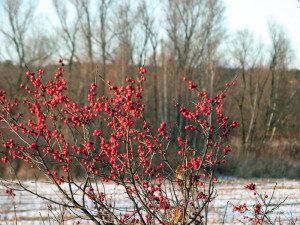 Winterberries growing wild on Route 73 in Brandon, Vermont