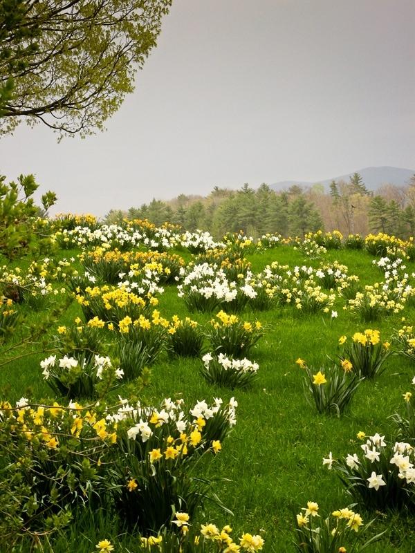 Miller Hill Farm daffodils
